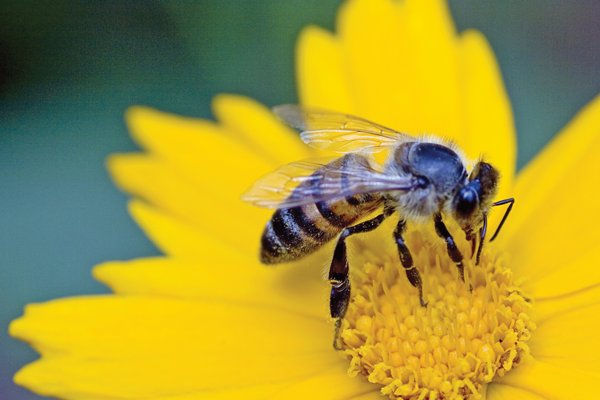 How to Help the Honey Bee