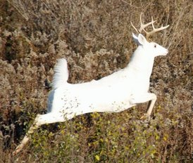 Leaping white buck.png