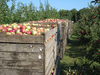 Apple bins in orchard.png