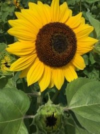 Wickham Sunflower 1