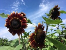 Wickham Sunflower 2