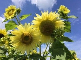 Wickham Sunflower 4