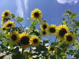 Wickham Sunflower 5
